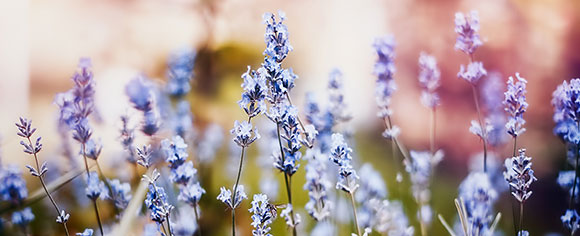 A close up image of lavender growing in a field.