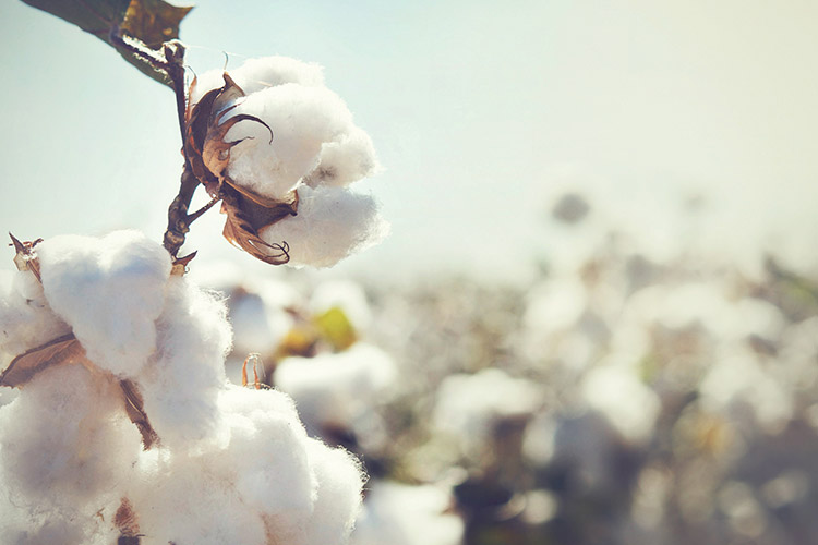 A close up shot of cotton bolls ready to be harvested in a cotton field.